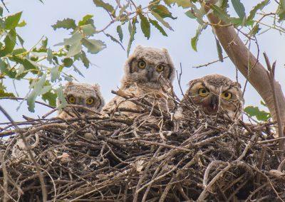 Baby Owls by Dean Zatkowsky _sml
