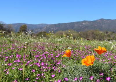 Ojai Wildflowers courtesy