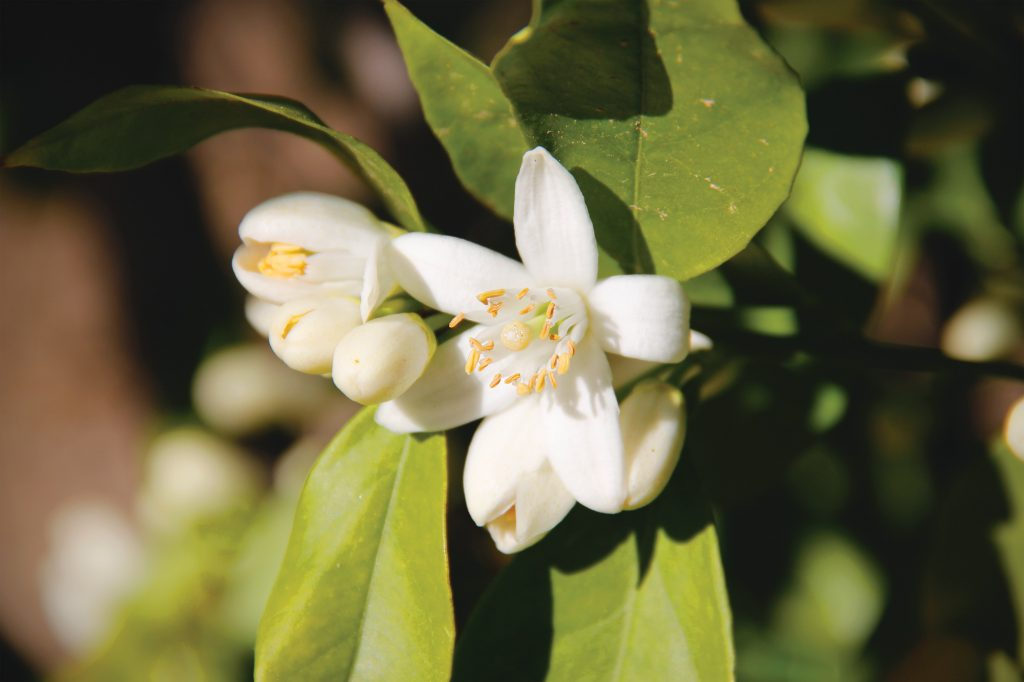 Fresh citrus blossom_by Misty Hall