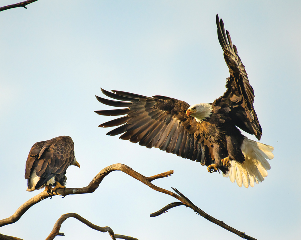 The current Bald Eagle pair in February, at Lake Casitas_Photo by Mark A. Slaughter, MASPICS Photography_sml