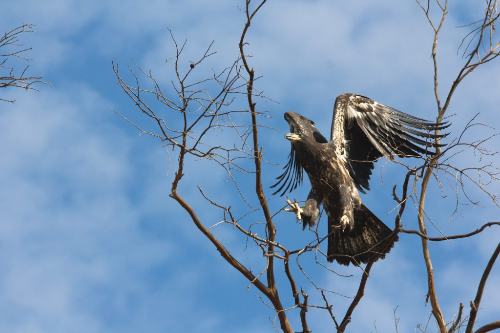 the 2017 fledgling spreads its wings_by JudyHillewaert